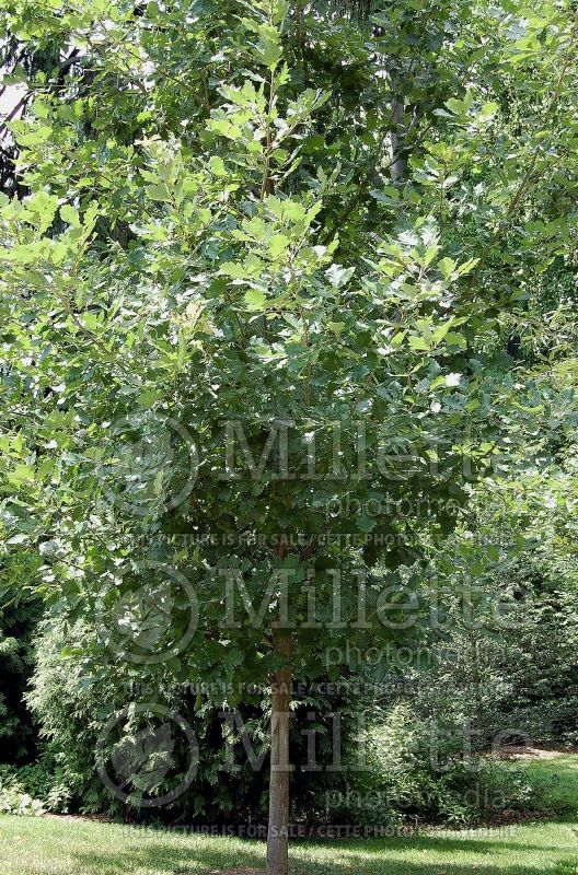 Quercus bicolor (swamp white oak) 4