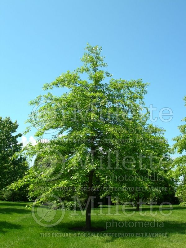 Quercus palustris (Pin oak) 6