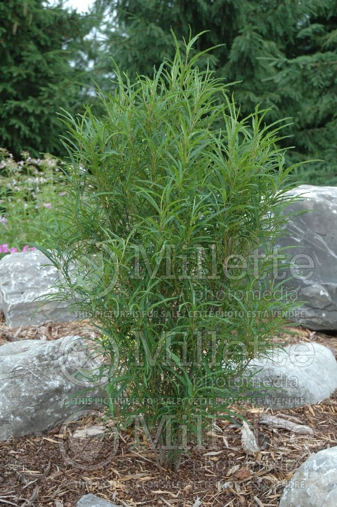 Rhamnus Fine Line aka Ron Williams (Buckthorn) 10