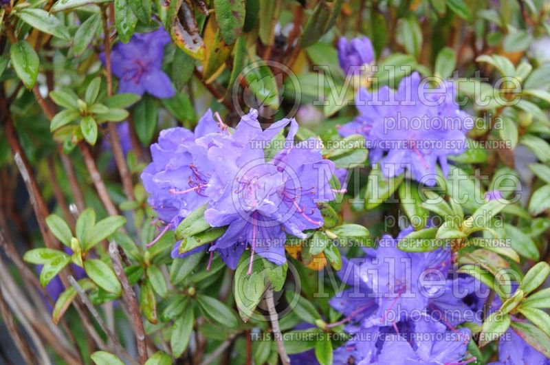 Rhododendron Blue Baron (Rhododendron) 1