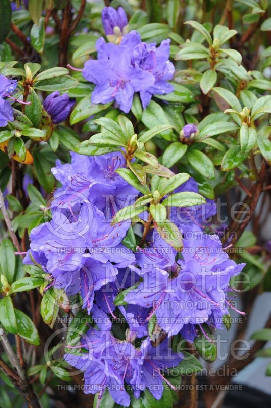 Rhododendron Blue Baron (Rhododendron) 2
