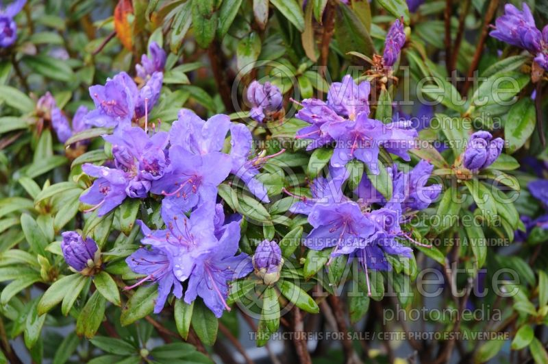 Rhododendron Blue Baron (Rhododendron) 3
