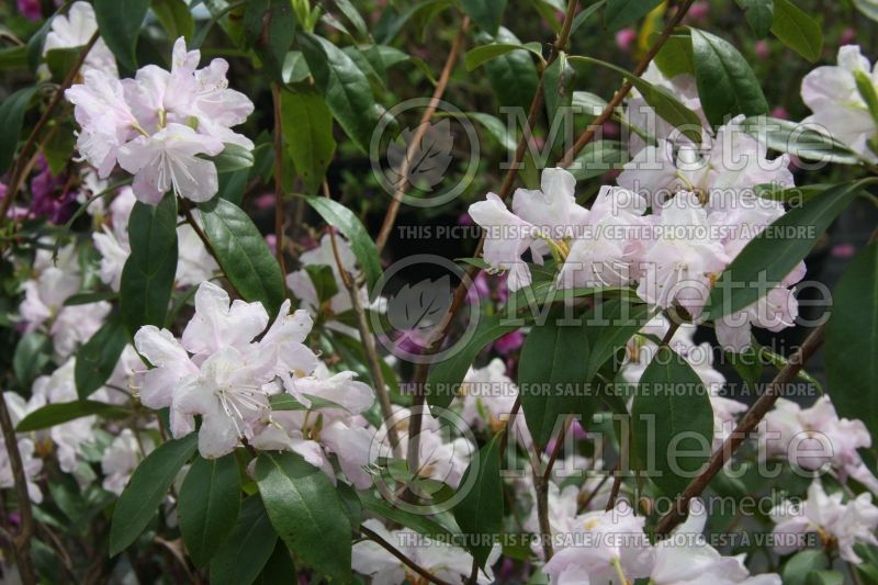 Rhododendron Alba (Rhododendron) 1