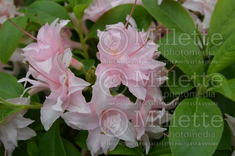 Rhododendron Electric Lights Double Pink (Rhododendron Azalée) 1