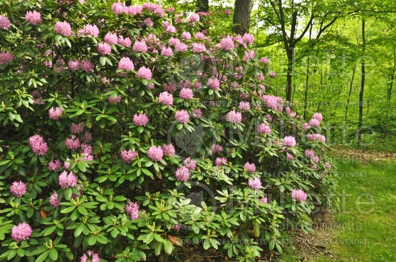 Rhododendron English Roseum (Rhododendron) 1
