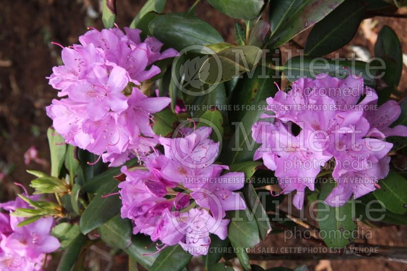 Rhododendron English Roseum (Rhododendron) 2