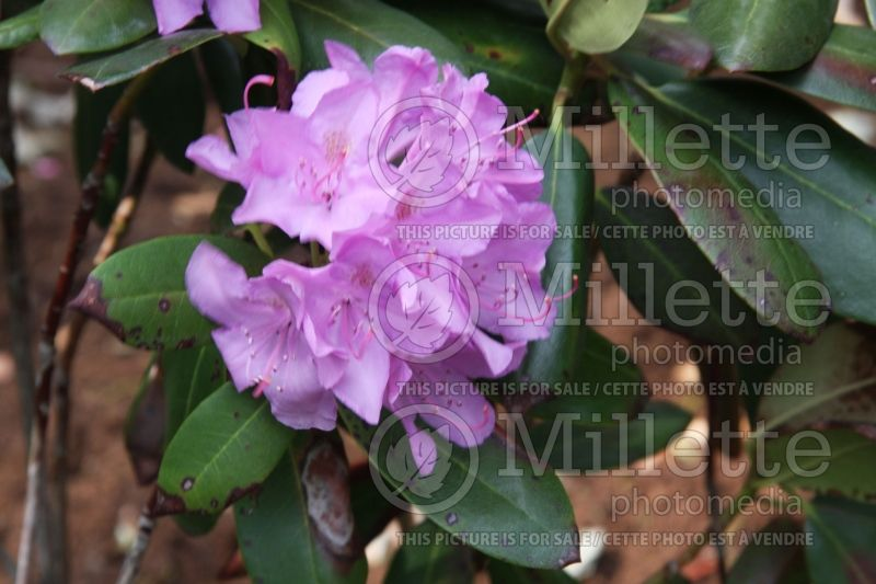 Rhododendron English Roseum (Rhododendron) 3