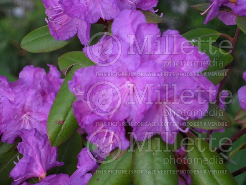 Rhododendron English Roseum (Rhododendron) 6