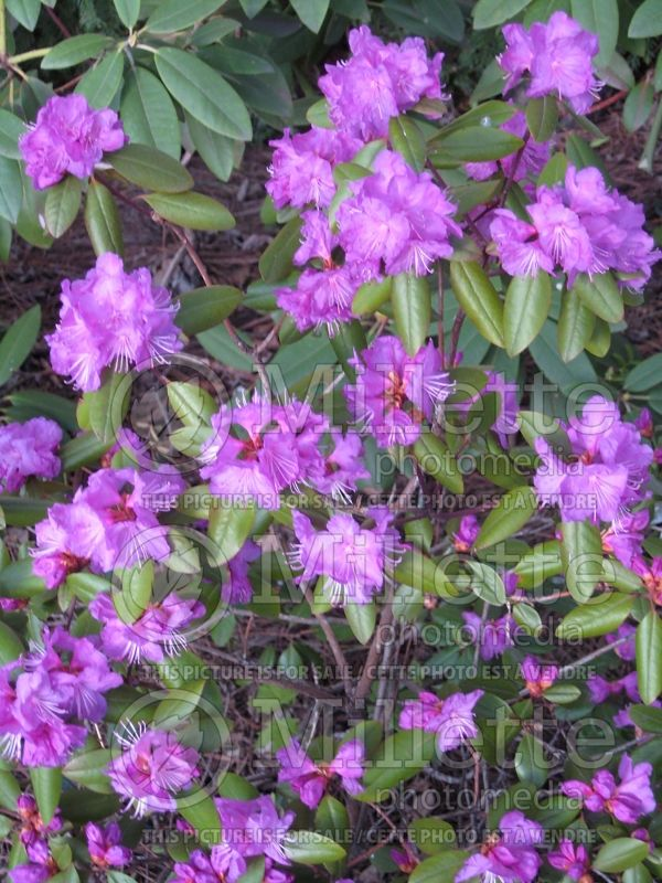 Rhododendron English Roseum (Rhododendron) 4
