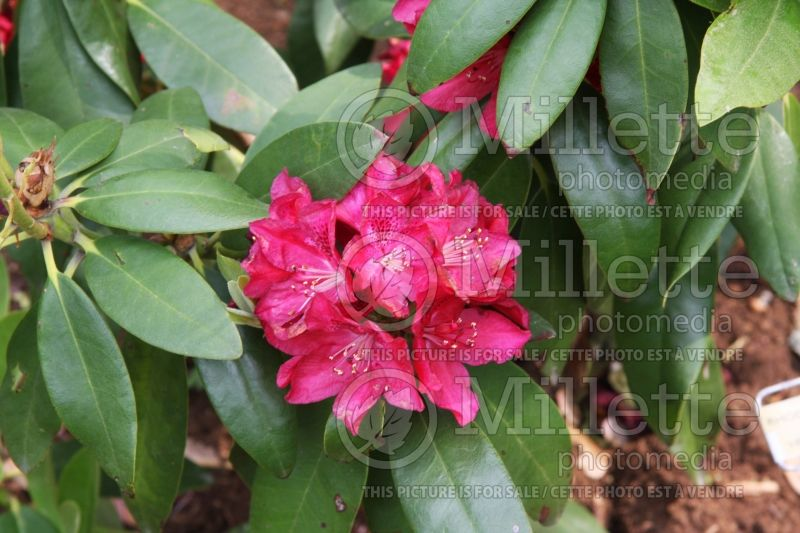Rhododendron Henry's Red (Rhododendron) 2