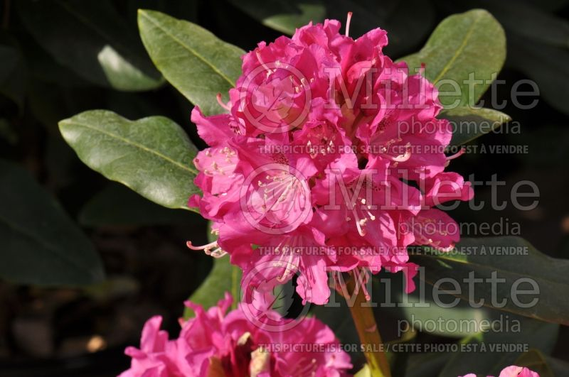 Rhododendron Holden (Rhododendron) 1