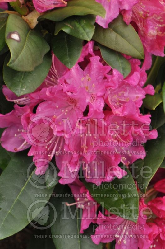 Rhododendron Holden (Rhododendron) 3