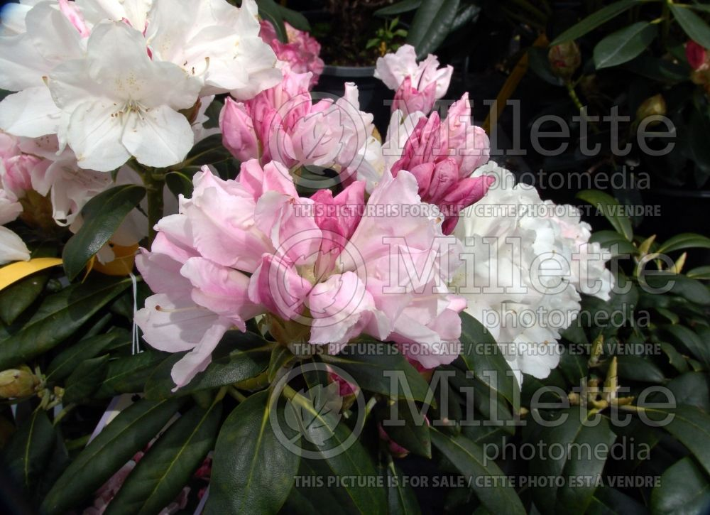 Rhododendron Yaku Princess (Rhododendron) 4