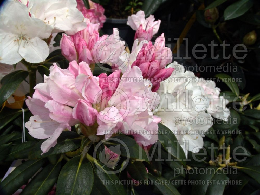 Rhododendron Yaku Princess (Rhododendron) 5
