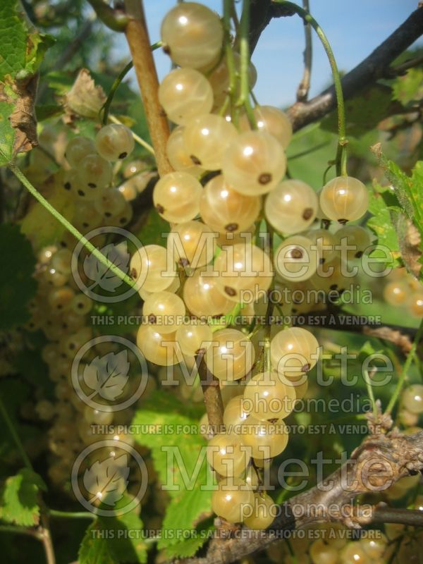 Ribes White Pearl (Groseillier gadelier) 7