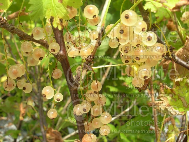 Ribes White Pearl (Groseillier gadelier) 5