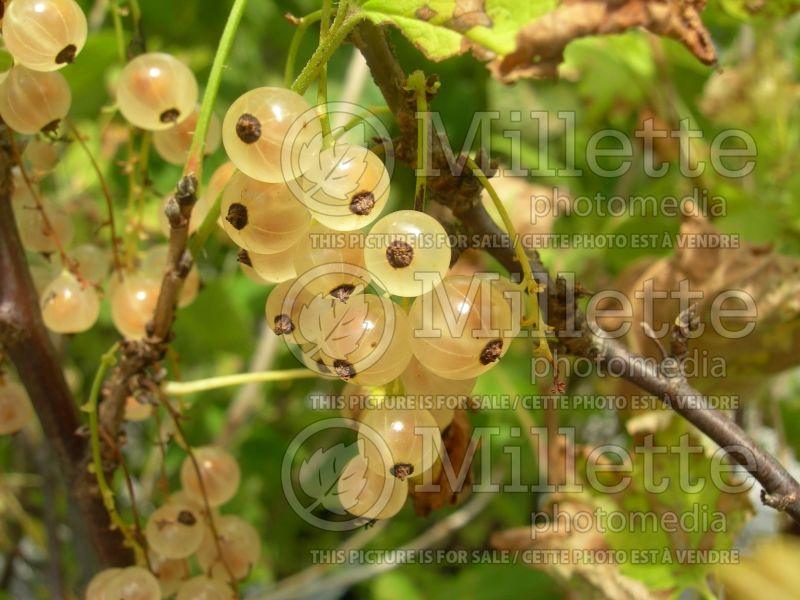 Ribes White Pearl (Groseillier gadelier) 6