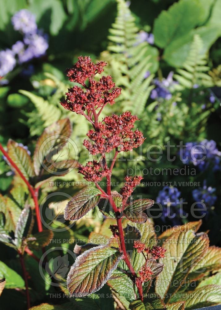 Rodgersia Bronze Peacock (rodgersia) 1