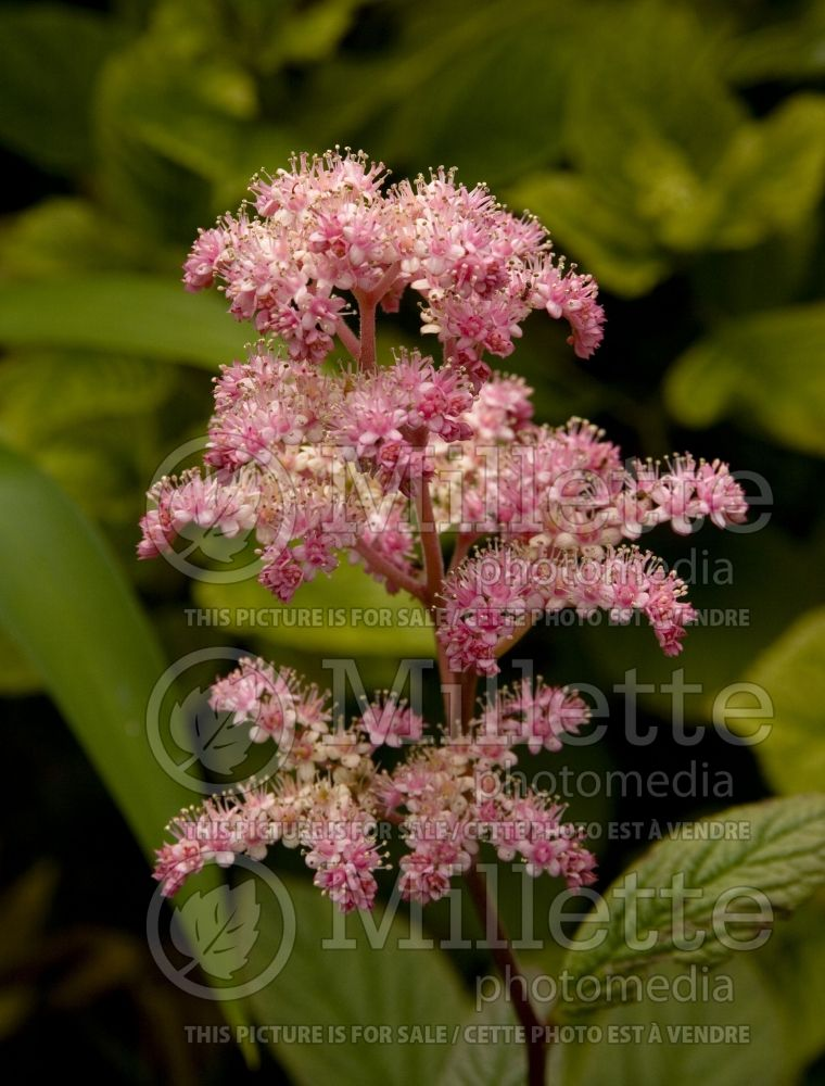 Rodgersia Chocolate Wings (rodgersia) 3