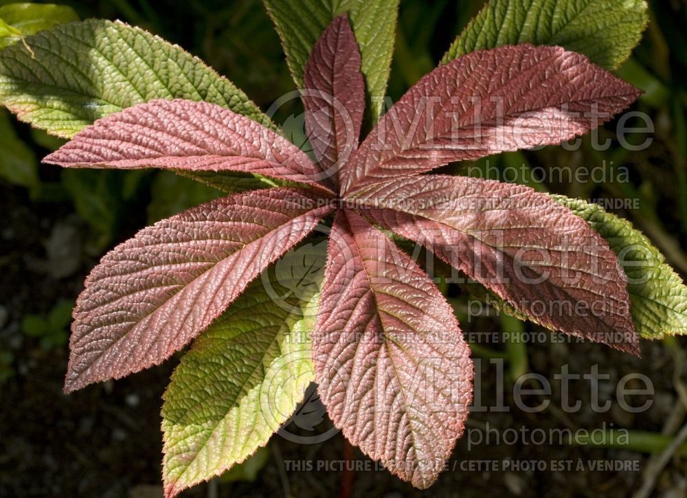 Rodgersia Chocolate Wings (rodgersia) 4
