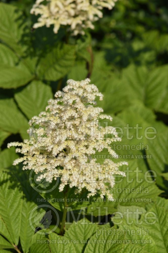 Rodgersia Superba (Rodgersia) 3