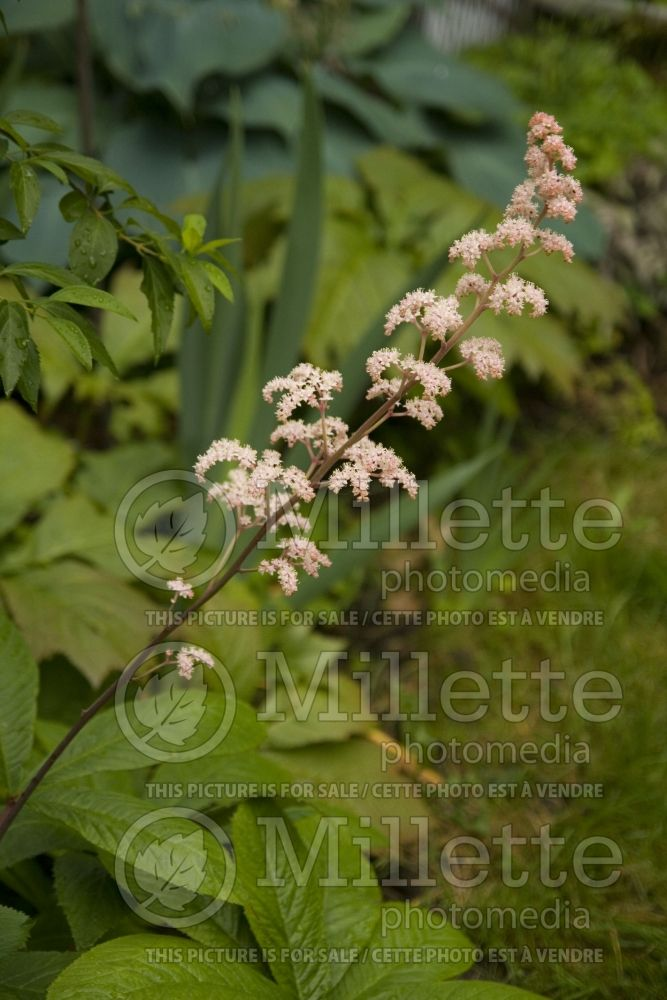 Rodgersia Superba (Rodgersia) 4
