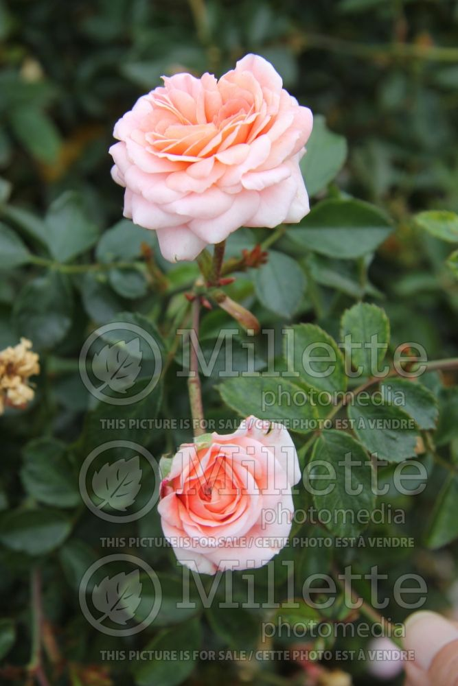 Rosa Apricot Delight (Shrub Rose) 1