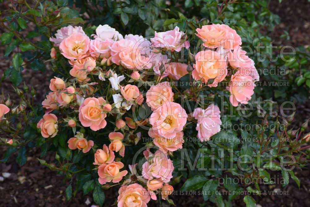 Rosa Apricot Drift (Ground cover rose)  1