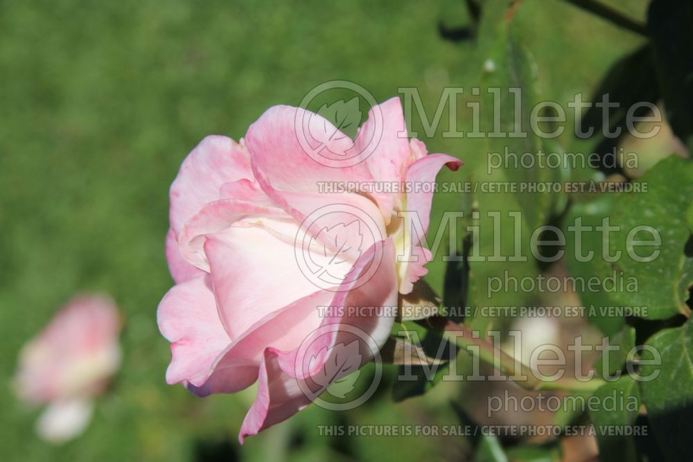 Rosa April In Paris (Hybrid Tea Rose)  2