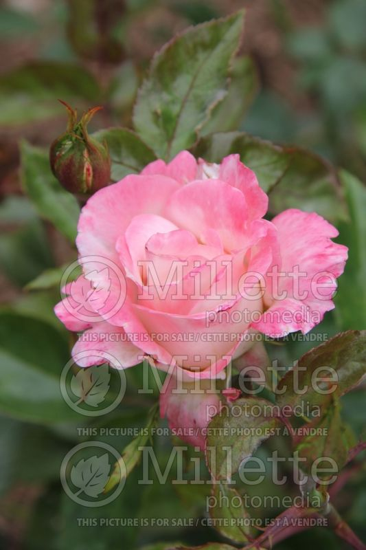 Rosa April In Paris (Hybrid Tea Rose)  4