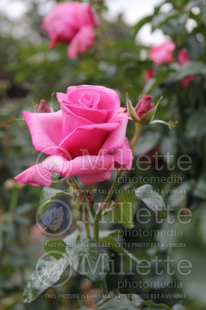 Rosa Barbra Streisand (Hybrid Tea Rose) 1