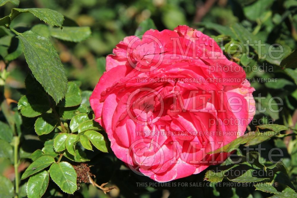 Rosa Big Momma (Hybrid tea Rose)  1