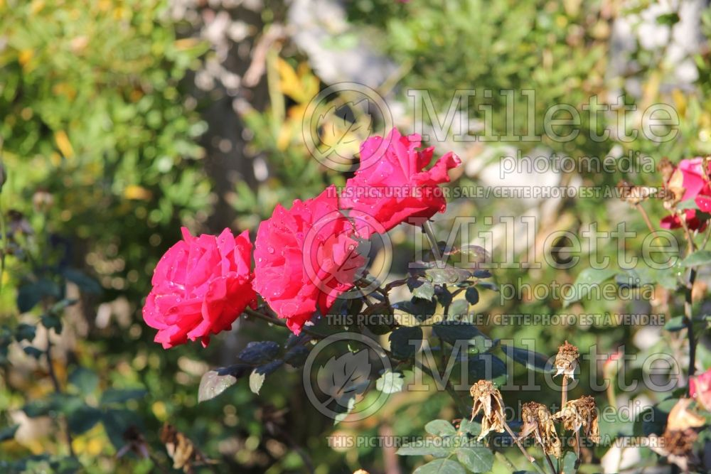Rosa Black Garnet (Hybrid tea Rose)  1
