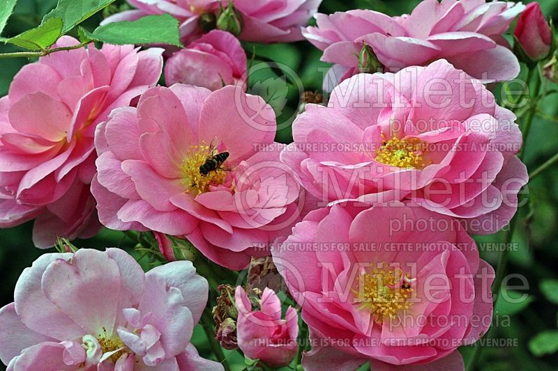 Rosa Cariad ou Auspanier (Shrub Rose) 1