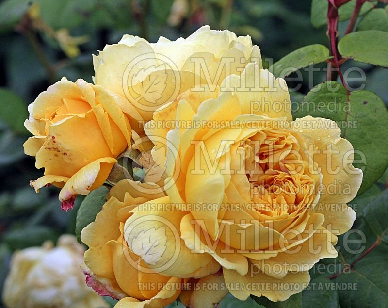 Rosa Charles Darwin or AUSpeet (Shrub Rose) 2