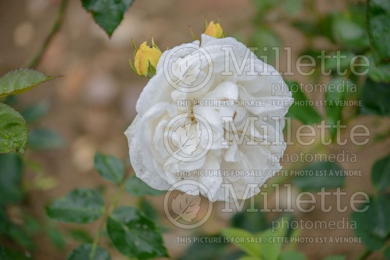 Rosa Clarence House (Rose rosier grimpant)   2