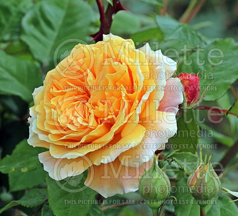 Rosa Crown Princess Margareta or Auswinter (Shrub rose)  1