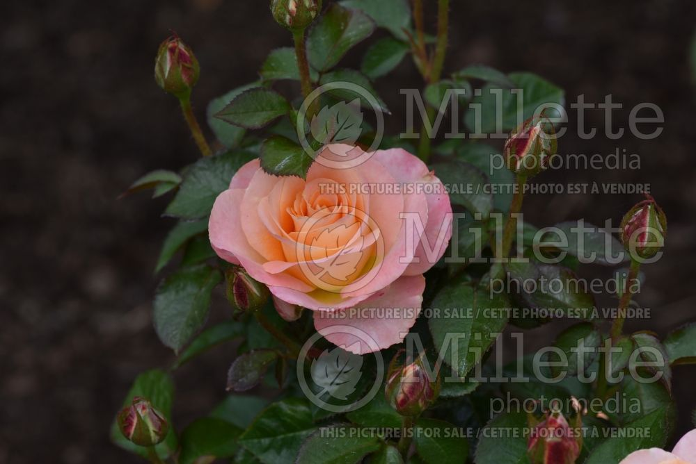 Rosa Day Breaker (floribunda Rose) 4