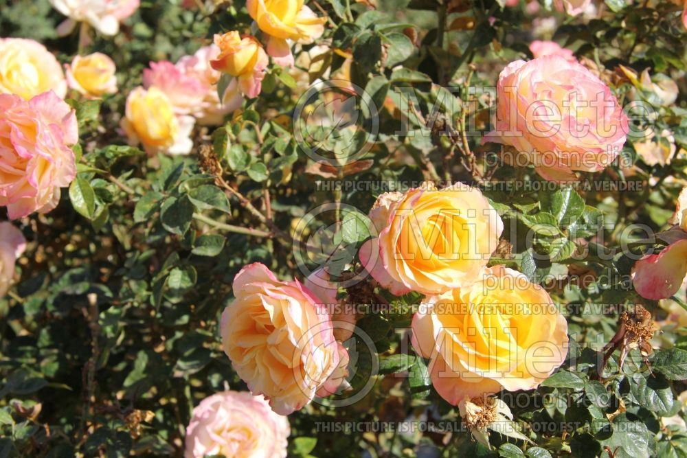 Rosa Day Breaker (floribunda Rose) 2