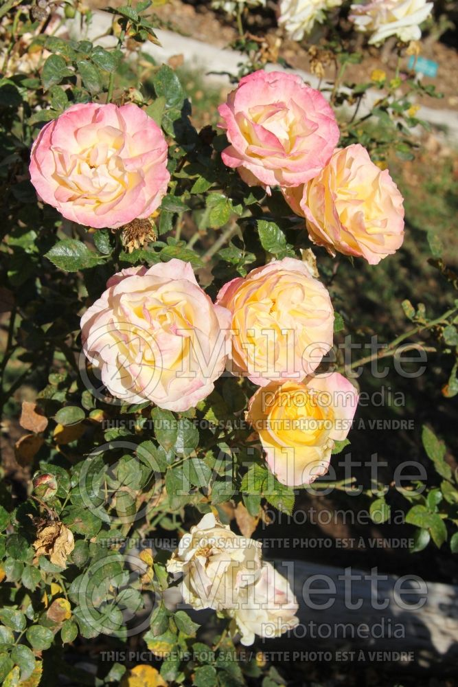Rosa Day Breaker (floribunda Rose) 3