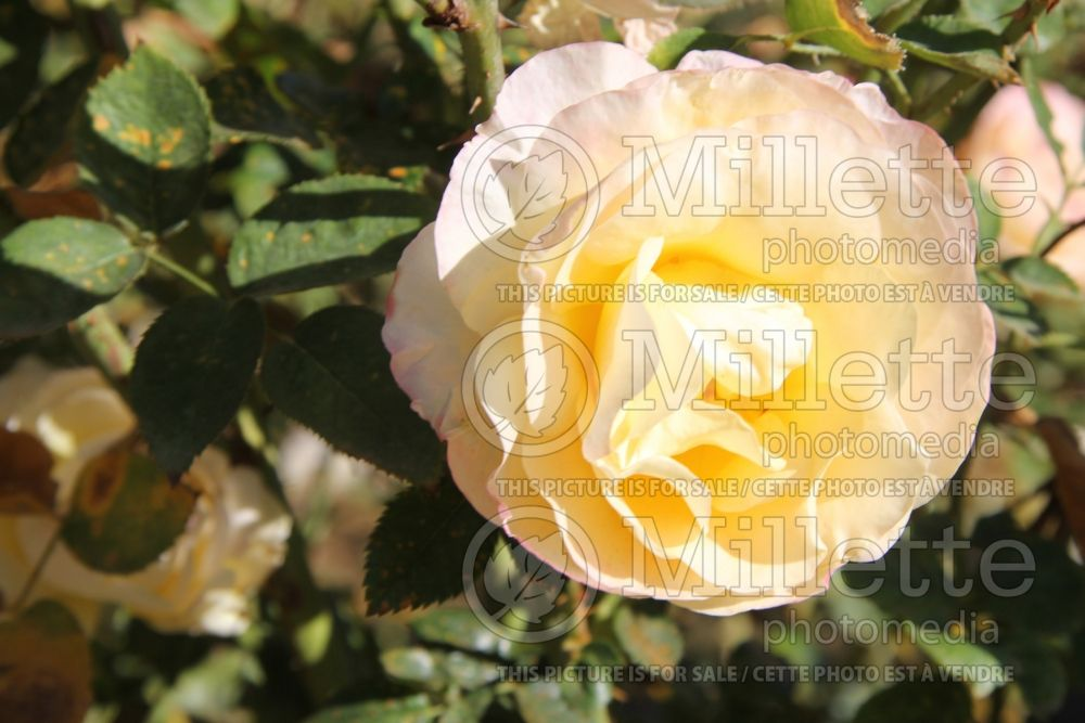 Rosa Day Breaker (floribunda Rose) 1