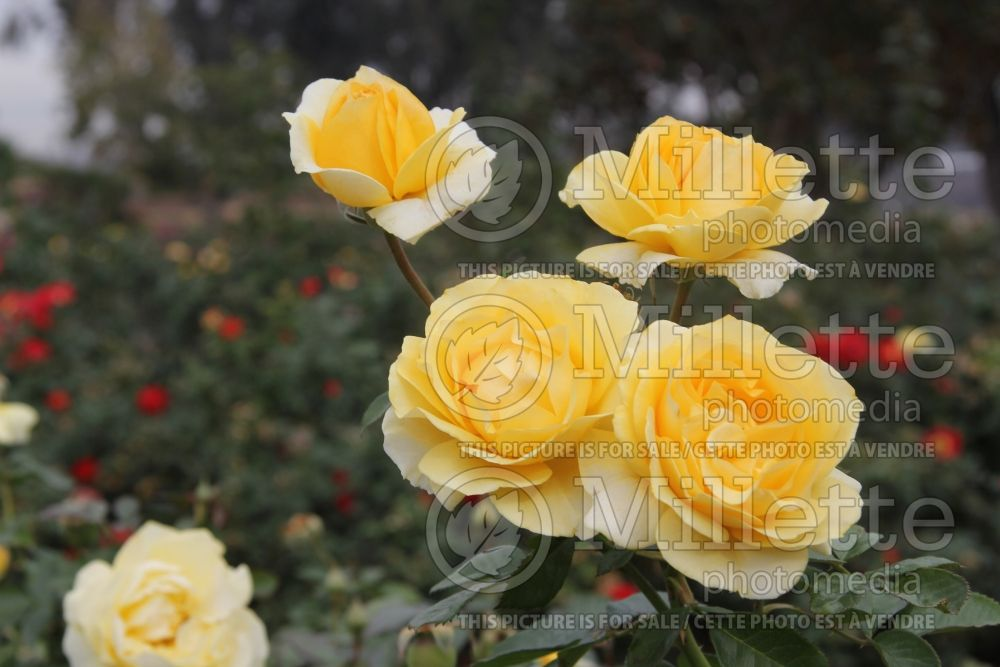 Rosa Doris Day (floribunda rose) 2