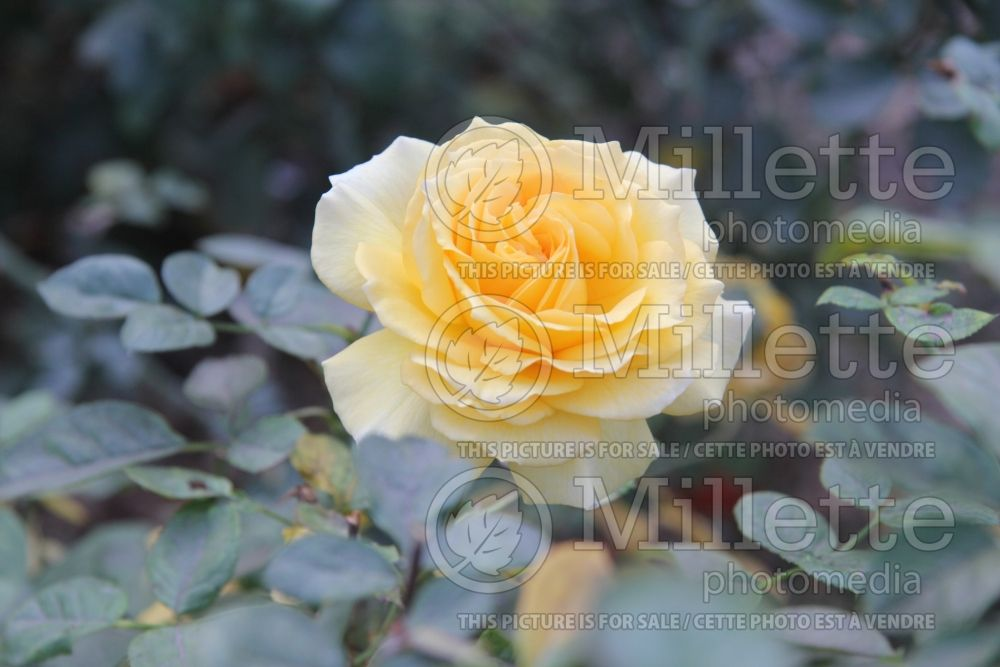 Rosa Doris Day (rose) 1