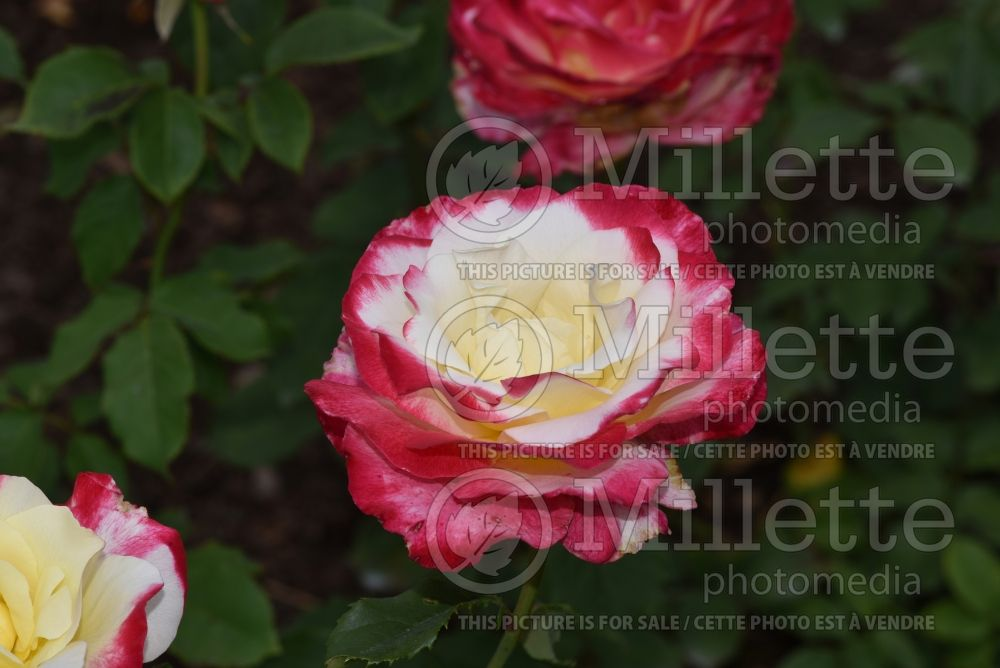 Rosa Double Delight (Hybrid tea Rose) 6
