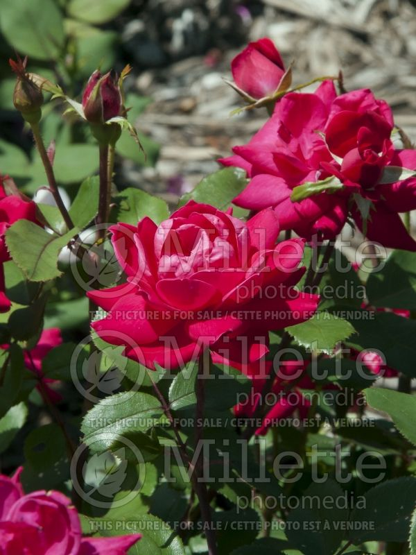 Rosa Double Knockout (Hybrid Rose) 6