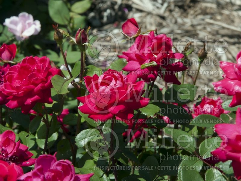 Rosa Double Knockout (Hybrid Rose) 7