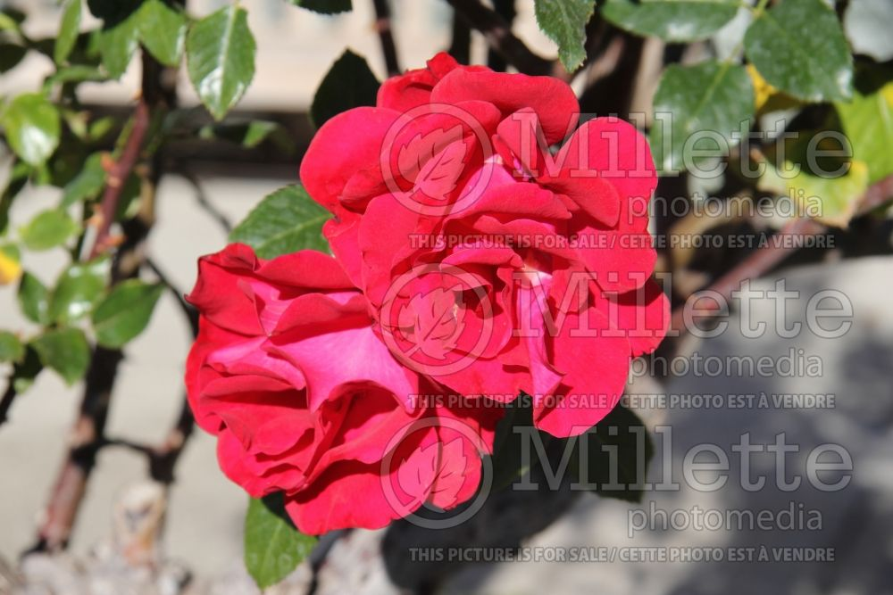 Rosa Drop Dead Red (floribunda rose) 1