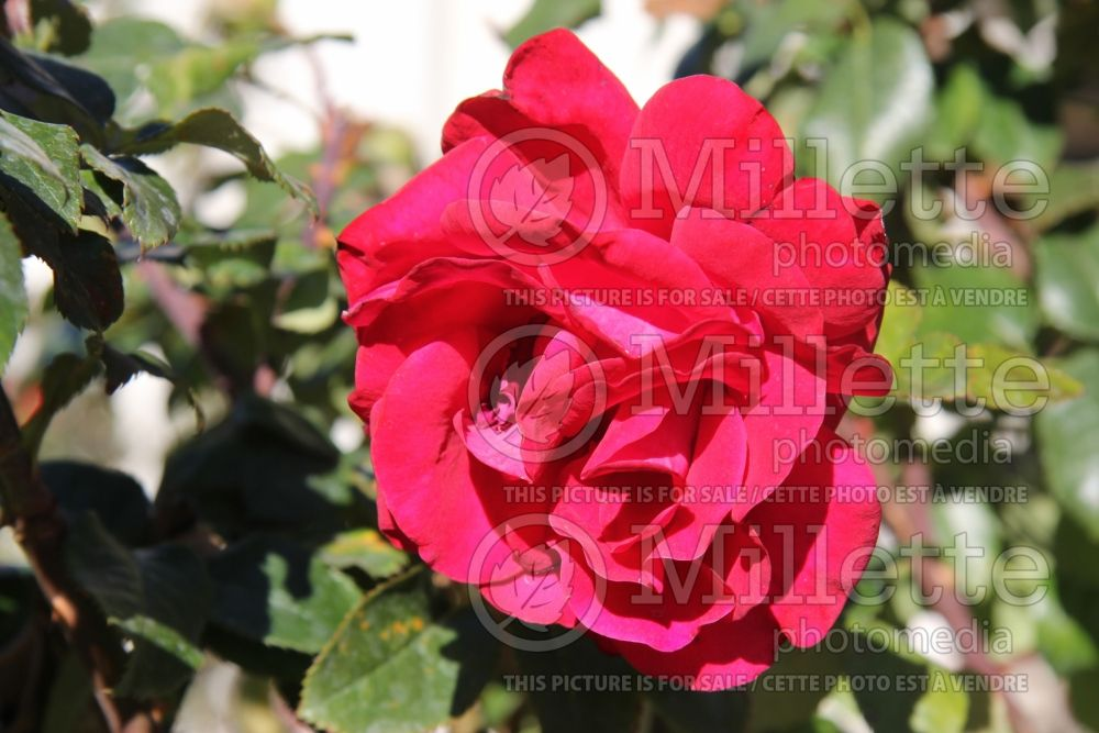 Rosa Drop Dead Red (floribunda rose) 3