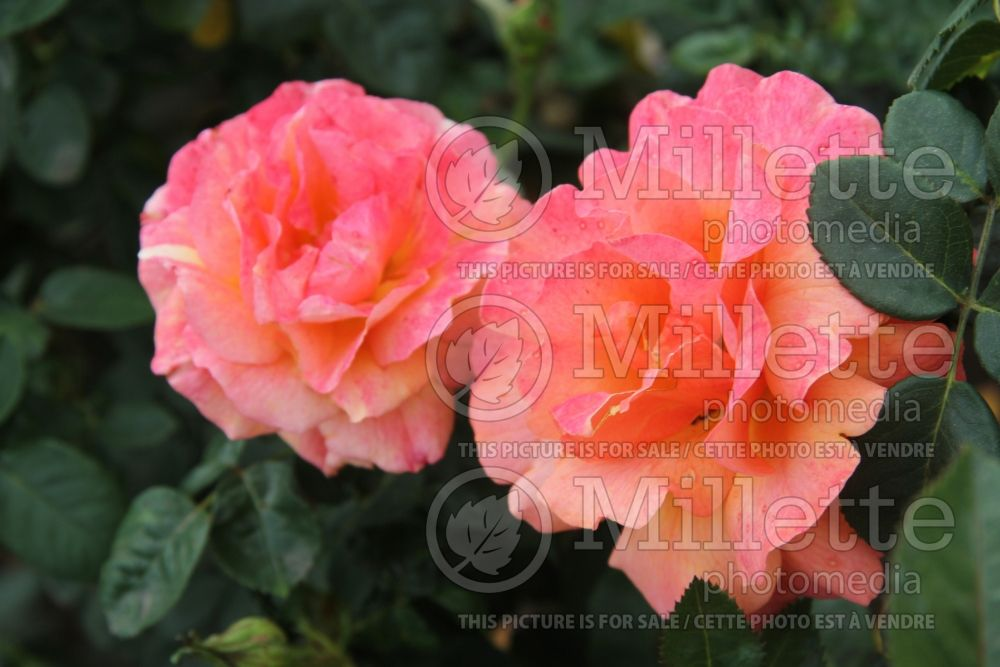 Rosa Easy Does It (floribunda Rose)  2