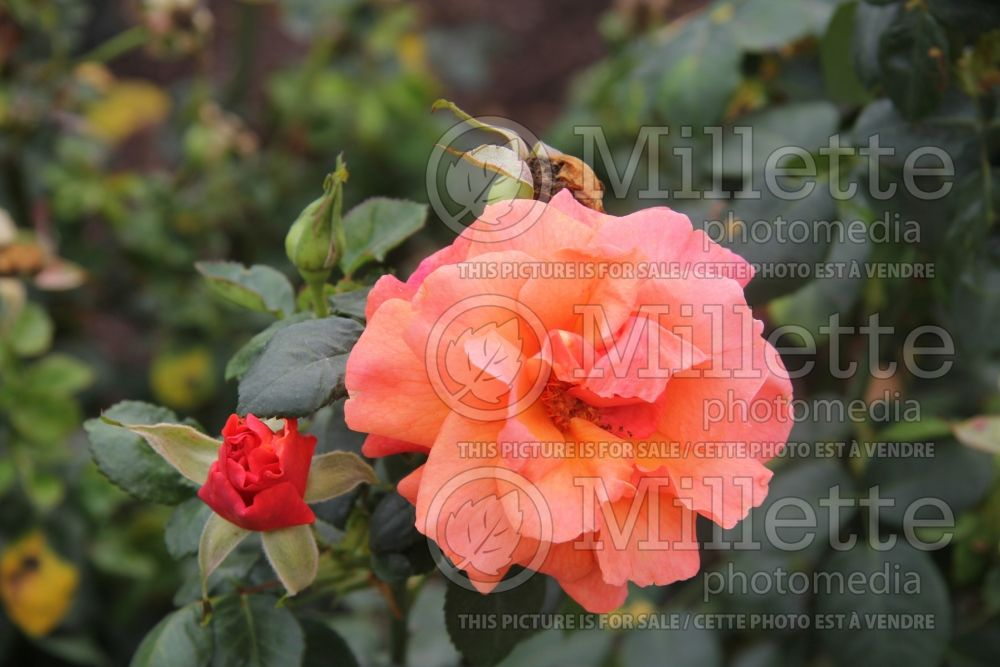 Rosa Easy Does It (floribunda Rose)  3